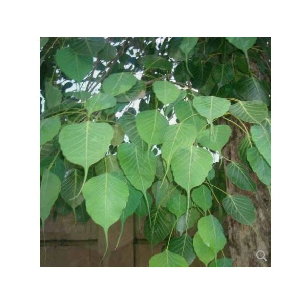 Arasa ilai - Peepal Tree- Sacred Fig Leaf Powder-50g