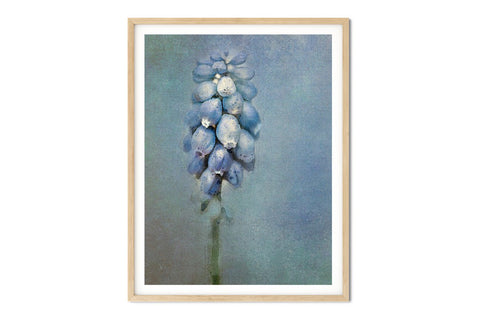Grape Hyacinth Floral Watercolor Wall Art - Giclée Art Print