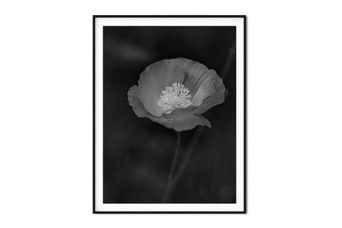 Pink Poppy #2 Floral Wall Art - Giclée Art Print in Black and White