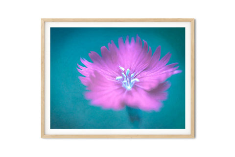 Firewitch Dianthus Wall Art - Giclée Art Print