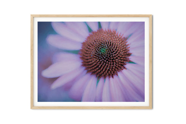 Echinacea Purple Coneflower Wall Art - Giclée Art Print