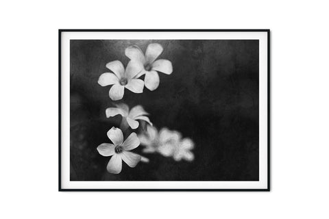Purple Oxalis Shamrock Blooms Wall Art - Giclée Art Print in Black and White