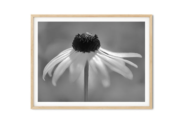 Dancing Brown Eyed Susan Wall Art - Giclée Art Print in Black and White