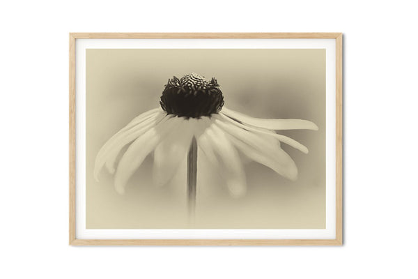 Dancing Brown Eyed Susan Vintage Wall Art - Giclée Art Print