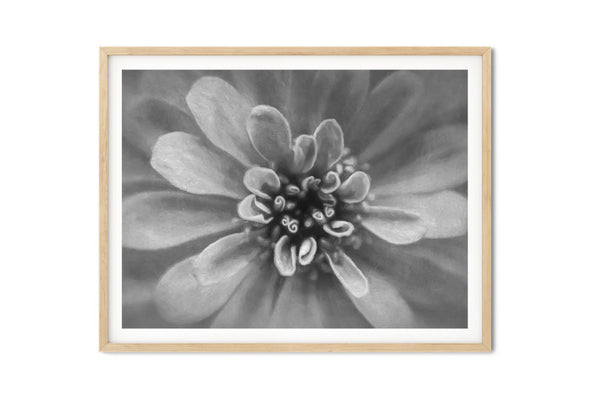 Precious Pink Zinnia Floral Wall Art - Giclée Fine Art Print in Black and White