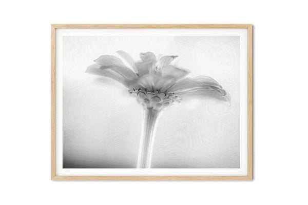 Blue Sky Pink Zinnia Floral Wall Art - Giclée Fine Art Print in Black and White