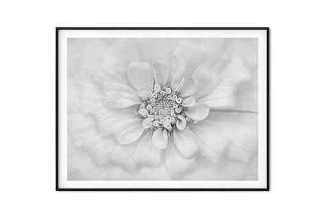 White Bridal Zinnia Wall Art | Giclée Art Print in Black and White