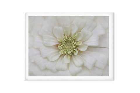 White Bridal Zinnia Wall Art | Giclée Art Print