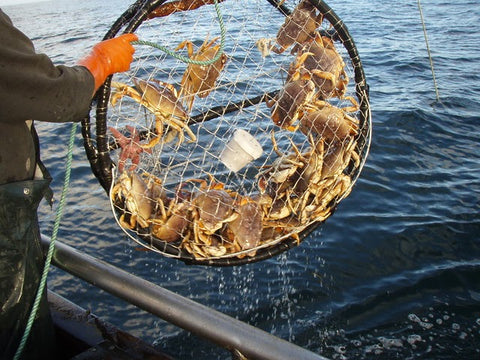 Catching Live Dungeness Crab