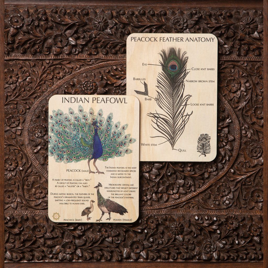 Indian Peafowl Fun Facts + Feather Anatomy Timber Tile + Matching Colour In Card