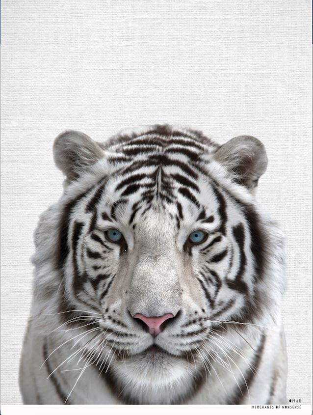 Omar the White Tiger