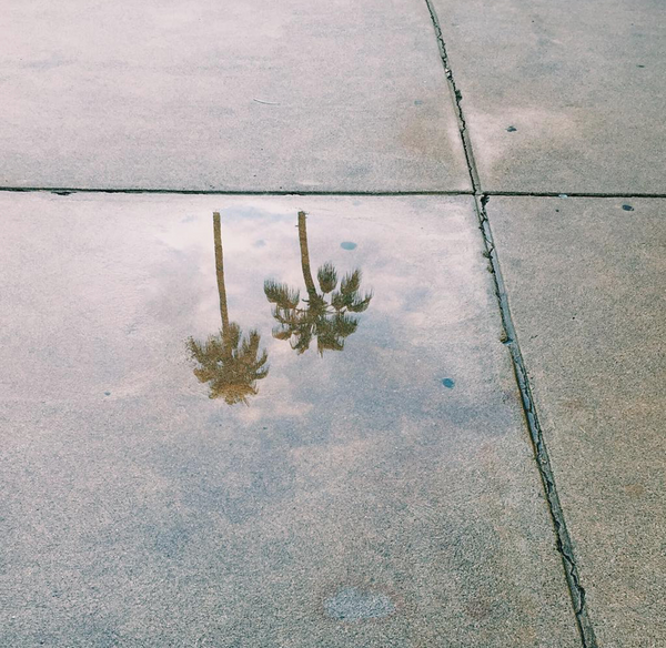 Palm Trees in Los Angeles Puddle