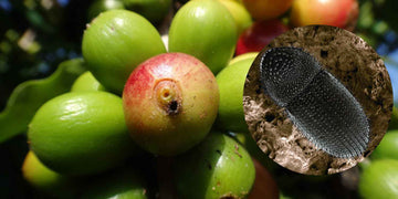 Coffee Berry Borer in Holualoa