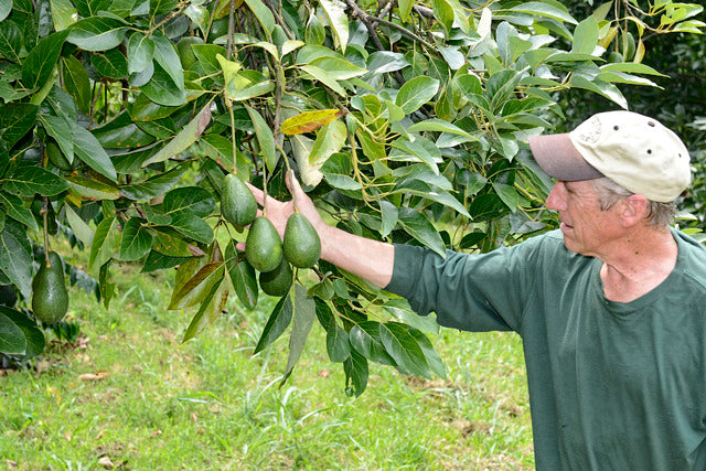 Rancho Aloha Sharwil avocados - Bruce Corker with fine examples of Rancho Aloha grown Sharwil avocados