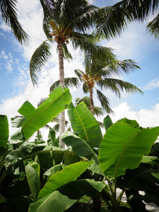 Banana Tree - Photographie Argentique 30 x 40 cm
