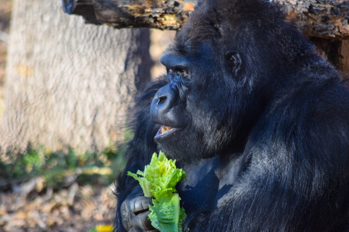 Gorilla is sitting in a zoo by holding grass