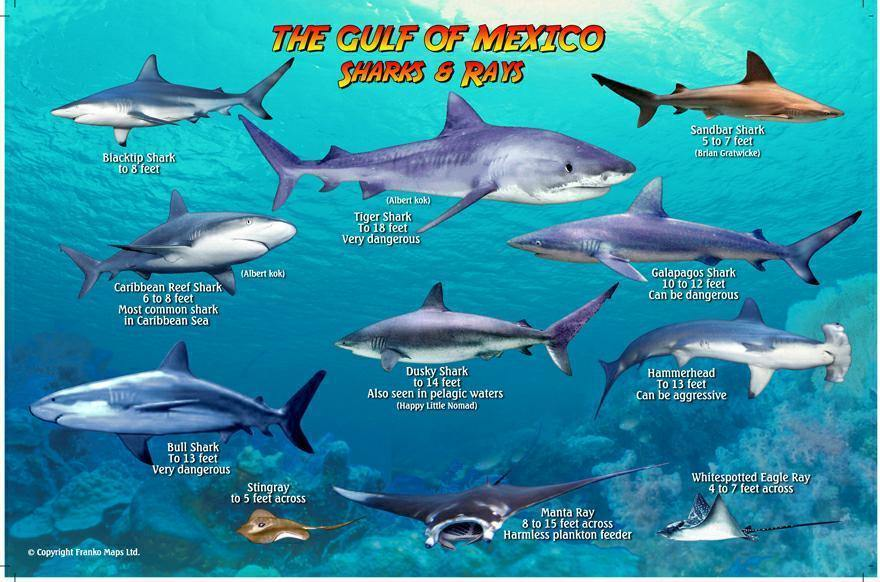 Gulf of Mexico Sharks & Rays Card - Frankos Maps