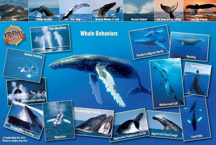 Pacific Humpback Whale Migration Card - Frankos Maps