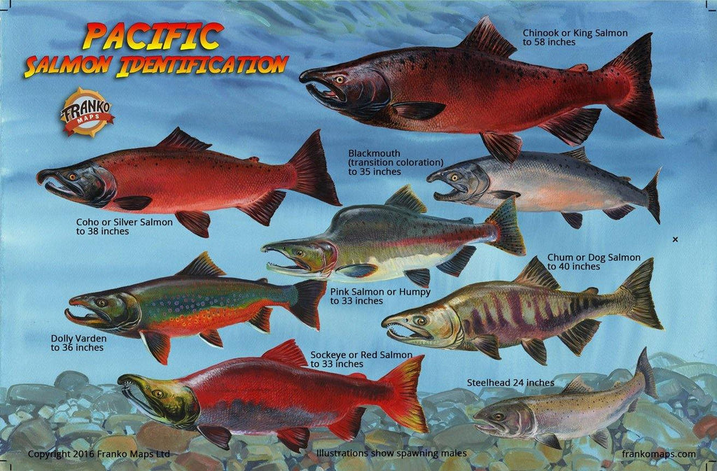 Pacific Northwest Salmon Lifecycle Card - Frankos Maps