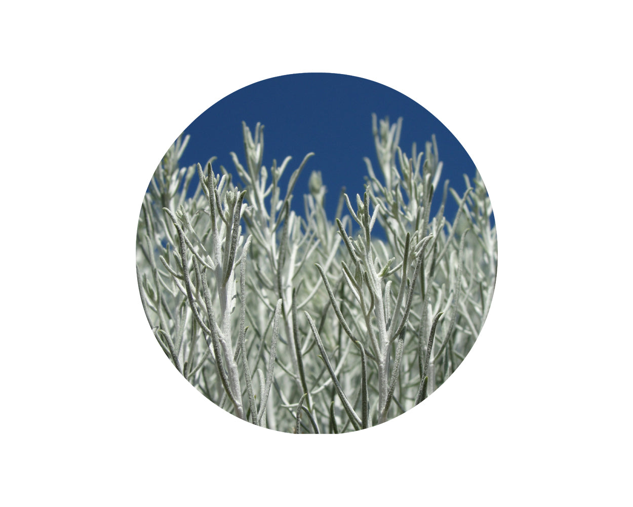 Sage, Desert Essential Oil