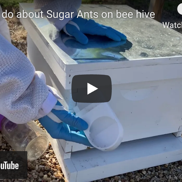 What to do about Sugar Ants - Video