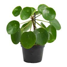 Chinese money plant 100mm