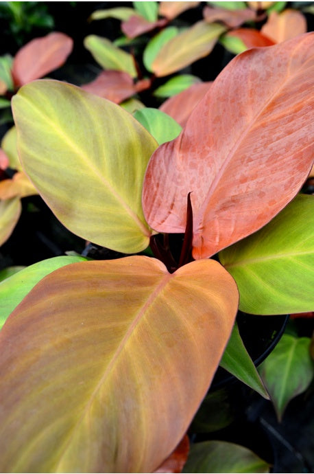Philodendron orange 100mm