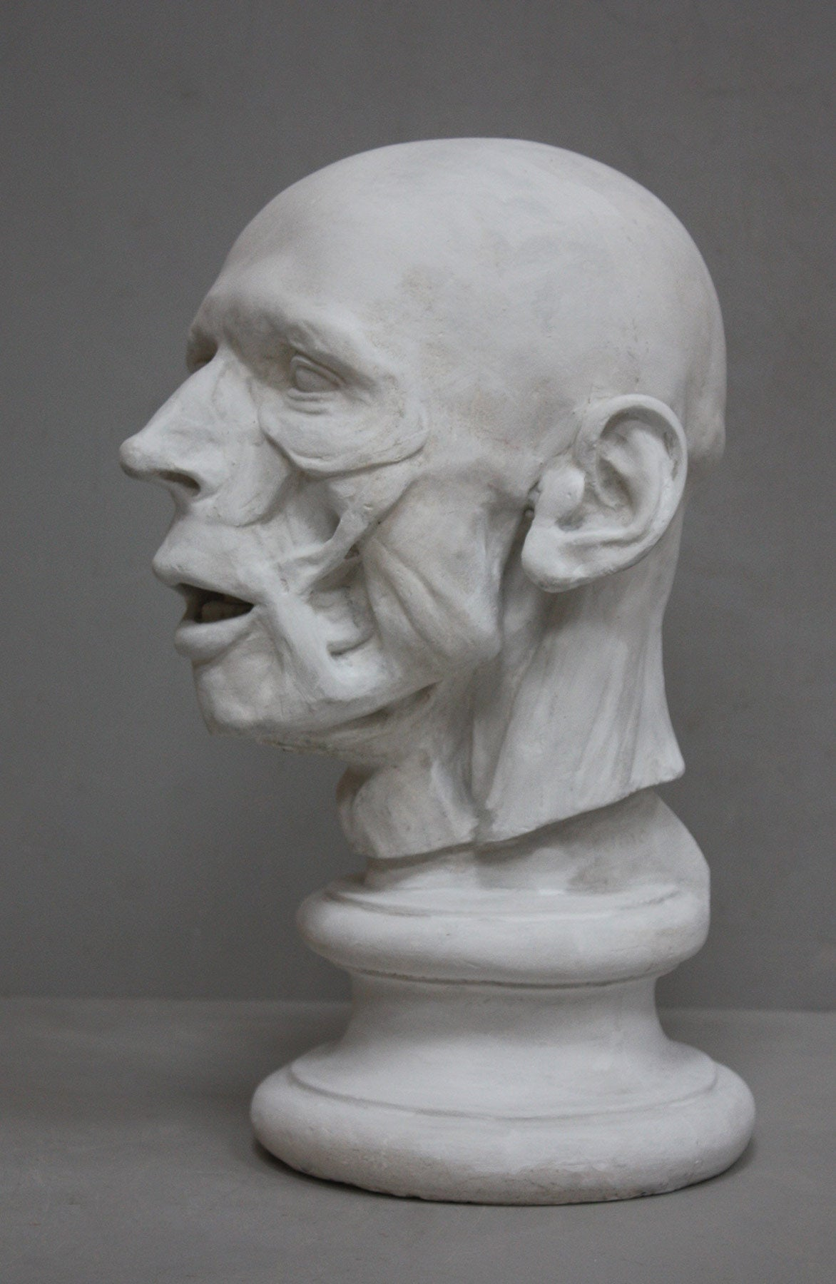 plaster cast anatomical sculpture of man's head on socle base with a gray background