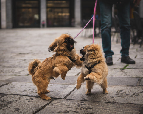 when do large dogs stop growing, when do dogs stop growing, when do small dogs stop growing, when do dogs stop growing in size, when do female dogs stop growing,