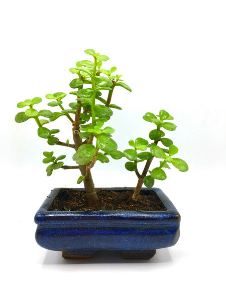 Jade Tree Bonsai (S)