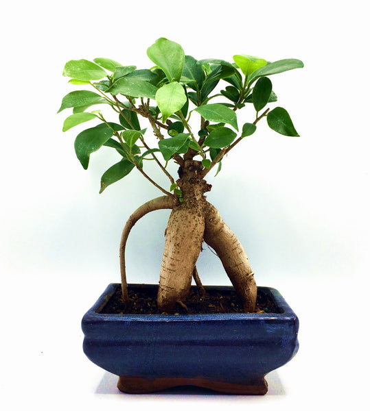 Ginseng Ficus  Bonsai Tree