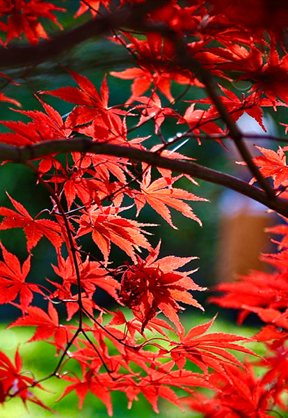 Japanese Maple (M)