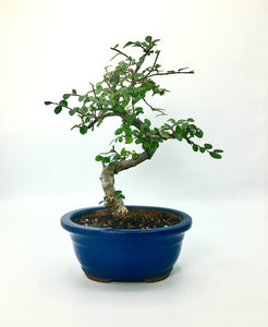 Elm Bonsai Tree (S)