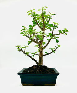 Jade Tree Bonsai (M)