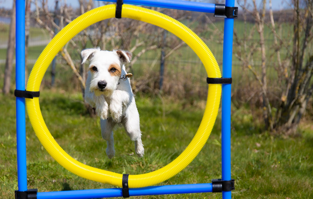 Dog Agility Training (Trial)