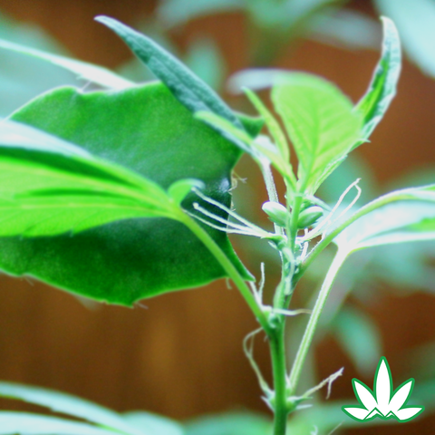 Female C. sativa plant, approximately 6 days into treatment with SUPER(SEED).