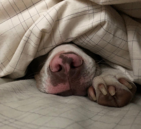 Puppy nose poking out from under sheets