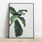 Fig Tree Leaves Print Photography