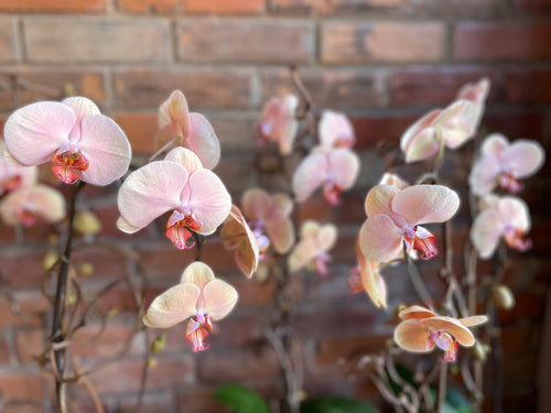 Potted Peach Orchid