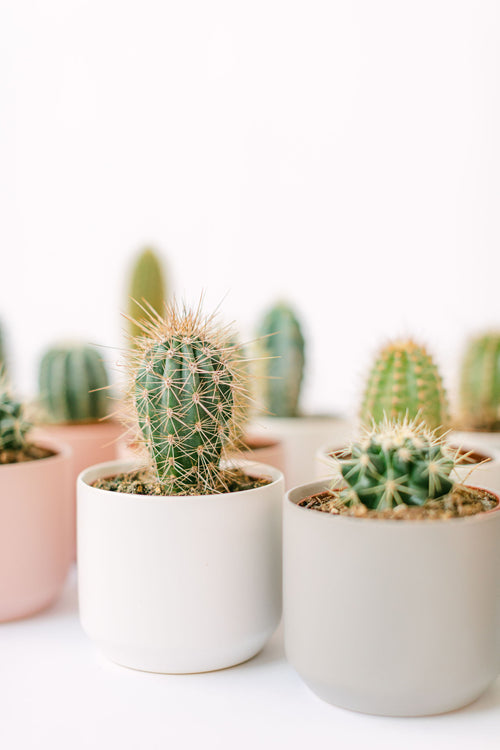 Assorted Potted Cacti