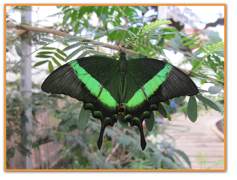 Emerald Swallowtail by Death Pengwin
