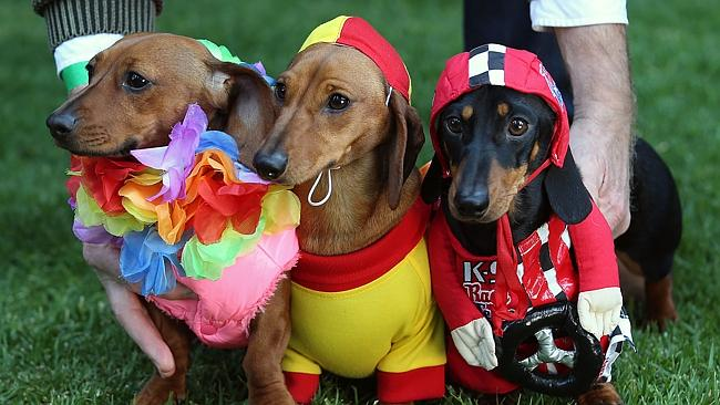 Melbourne Inaugural Sausage dog race