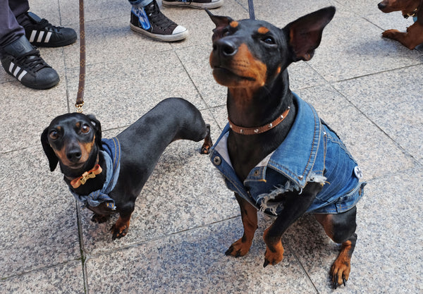 Sassy The Dachy and Willie from Pethaus at Hophaus dachshund race