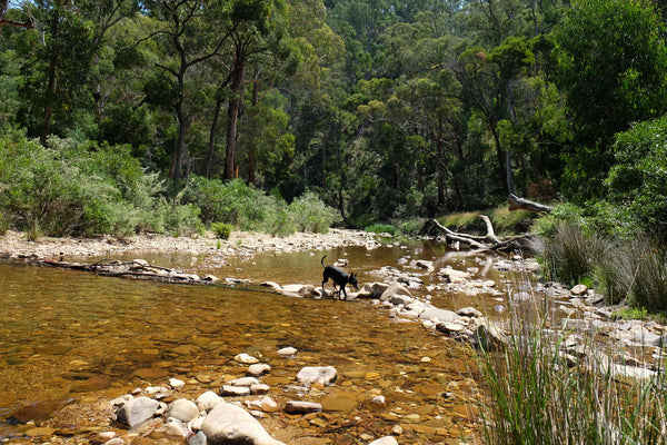 Camping with your dog in Australia