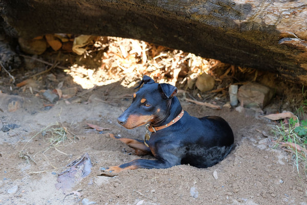 Tips for camping with your dog in Australia