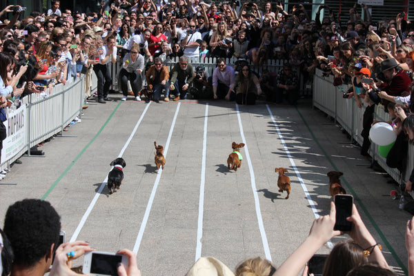 Racing Dachshunds