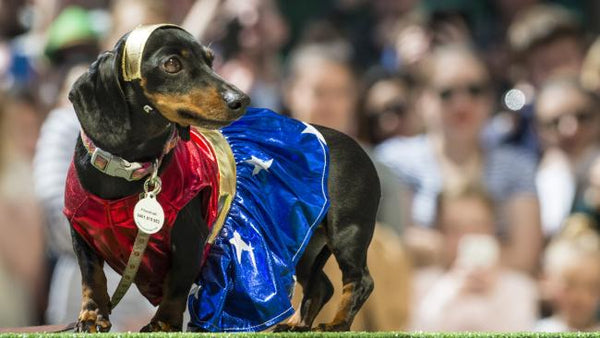 Sassy the dachy Hophaus Dachshund races 2016