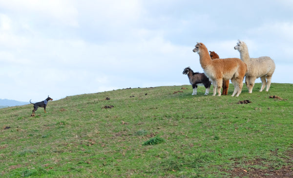 Dog with Alpacas