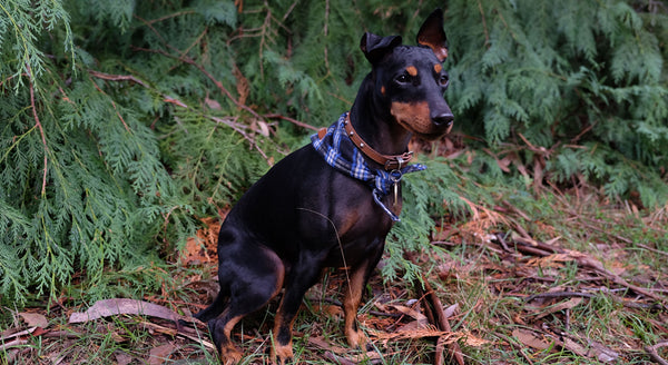 English Toy Terrier Melbourne