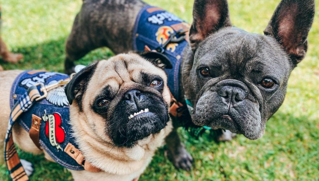 pug and frenchie harness
